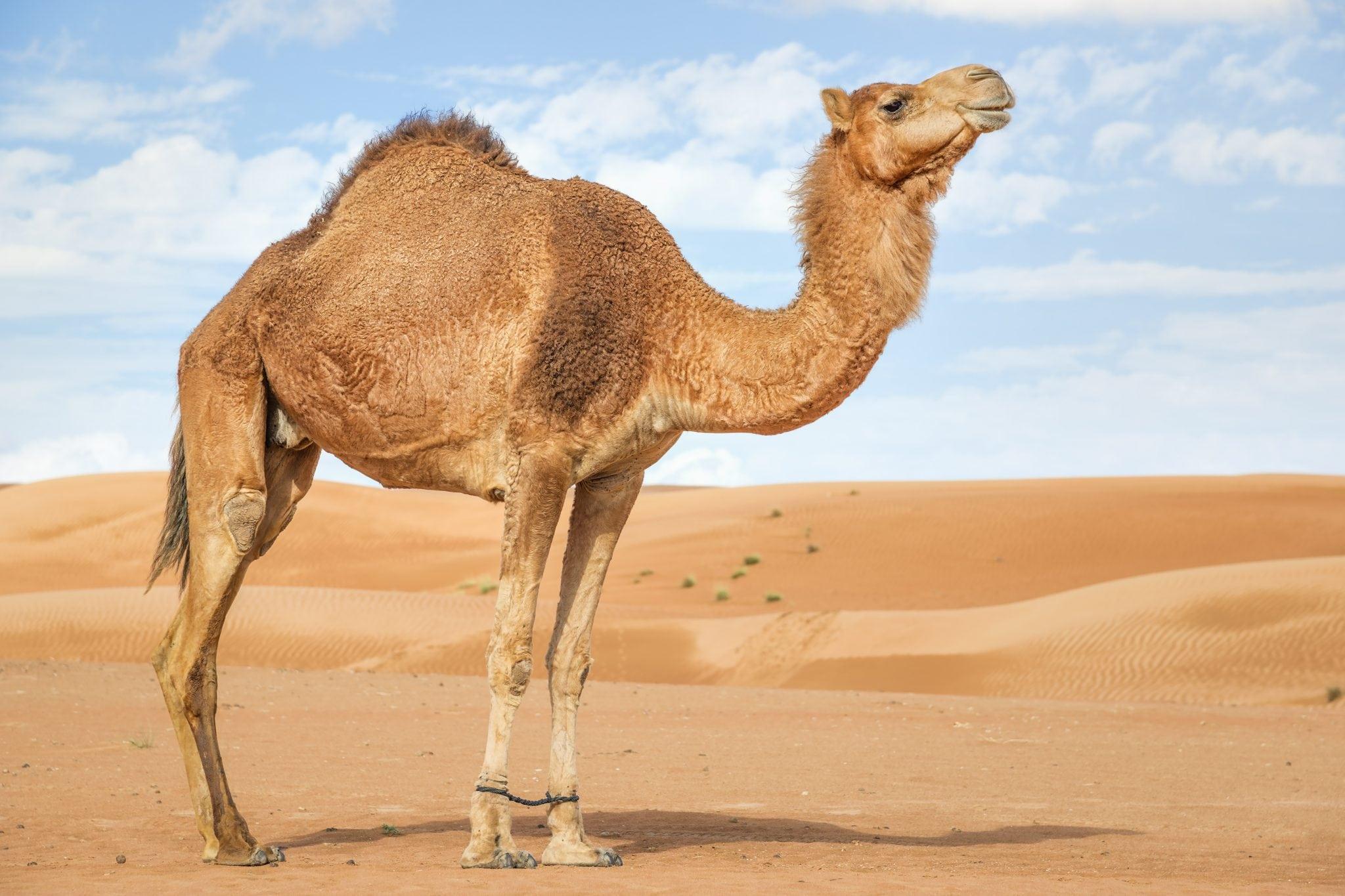 Jahtaako Porin Jazz väärää kamelia?
